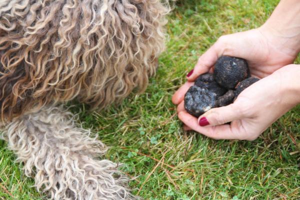 perro oliendo trufa